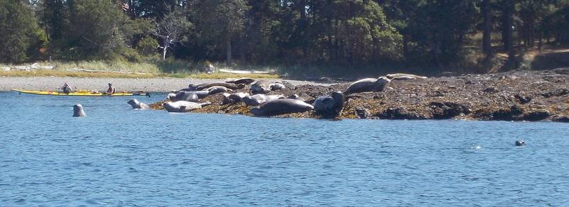 Harbor Seal Encounter near Henry Island