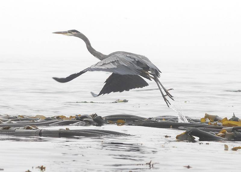 Heron taking flight...