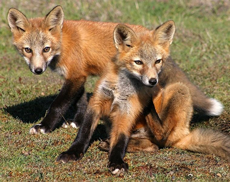Image result for san juan island red fox